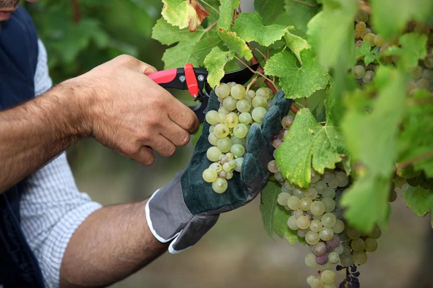 Как сохранить виноград на новый год