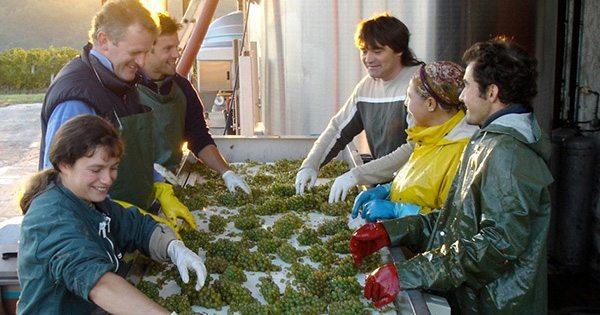 sorting-the-grapes-bordeaux-sm